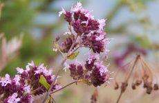 Трава душица — описание, особенности, 20 способов применения, фото